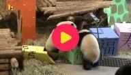 Verjaardag panda's