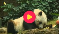 oudste panda gestorven