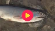 Karrewiet: Vissen aangespoeld