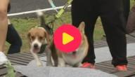 Karrewiet: Hondenrace in Thailand