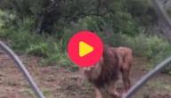 Karrewiet: Leeuwen aangekomen in Zuid-Afrika