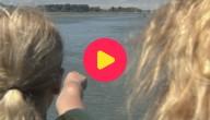 Besmeurde zwanen uit het water gehaald