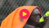 kw_chimp