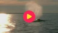 Karrewiet: Groenlandse walvis aan Belgische kust