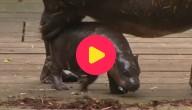 MERTENF_nijlpaard