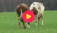 Blije koeien