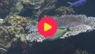 Karrewiet: Grootste koraalrif ter wereld sterft af