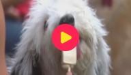 Karrewiet: Ijssalon voor... honden?!