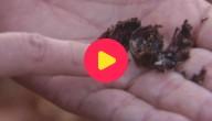 Karrewiet: Mieren doen aan landbouw