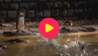 Karrewiet: Pinguïn gestolen