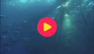 Na 50 jaar terug een blauwvin-tonijn gespot in de Noordzee!