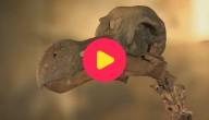 Karrewiet: Skelet van een dodo verkocht