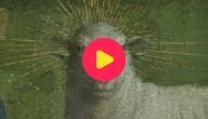 Karrewiet: Een lammetje met vier oren!