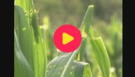 Karrewiet: Sprinkhanenplaag tesitert Bolivië