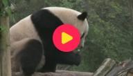 Karrewiet: nieuw natuurpark voor panda's