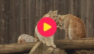 Lynx gespot in Vlaanderen