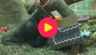 gorilla wordt 60