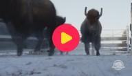 Karrewiet: Opnieuw bizons in het wild