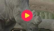 neushoorn pairi daiza