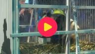 Karrewiet: panda's in Nederland