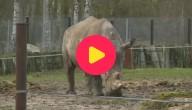 Karrewiet: Neushoorn gedood in Franse zoo