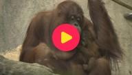 kw_orangutan