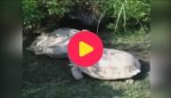 Karrewiet: Echte schildpadden helpen elkaar
