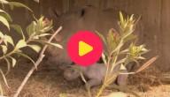 witte neushoorn