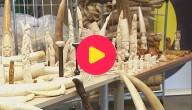 Dierenparken verzamelen ivoor (om het weg te gooien)