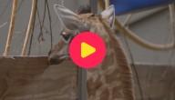 Giraf geboren in Planckendael