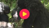 Aantal Berggorilla's in Afrika stijgt