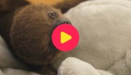 Karrewiet: Superschattig luiaardje geboren