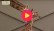 Karrewiet: Girafje geboren in Planckendael