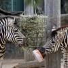 De zebra's eten een wortelijsje!