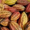 De peulvruchten, die aan de stam van de boom groeien, worden 2 maal per jaar geoogst.