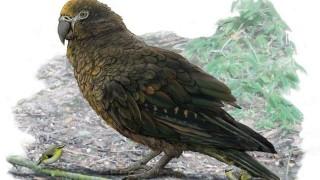 Papegaai zo groot als een kind leefde ooit in Nieuw-Zeeland