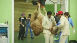 kamelenziekenhuis in Dubai