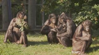 Hebben bonobo's dezelfde gevoelens als mensen?
