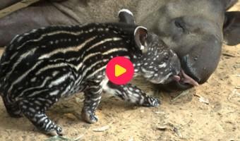 Tapir geboren