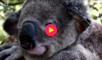 Koalaziekenhuis