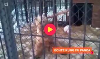Echte Kungfu Panda