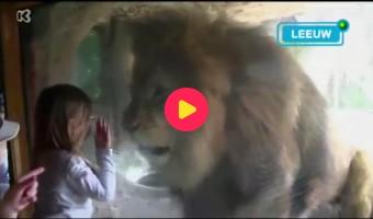 Oog in oog met een leeuw