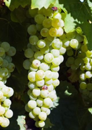 De Boer Op: Druiven