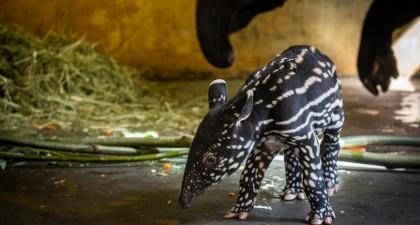 schattige tapir geboren