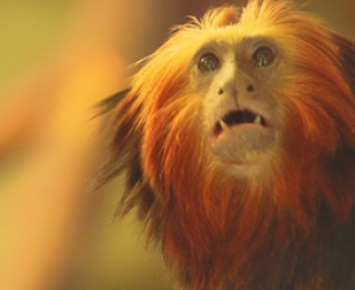 De zoo-reporters: Het goudkopleeuwaapje